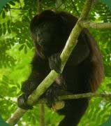 Mantled Howler
