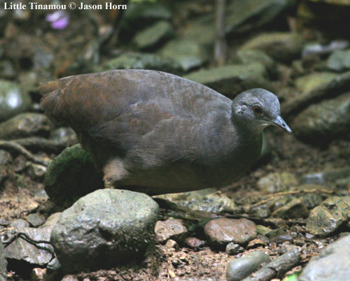 Little Tinamou 1.jpg