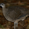Great Tinamou 1.jpg