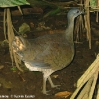 Great Tinamou 4.jpg