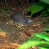 Little Tinamou 3.jpg