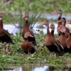 Black-bellied Whistling-Duck 3.jpg