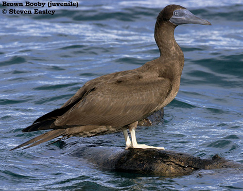 Brown booby immature - photo#6
