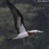 Brown Booby 1.jpg