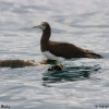 Brown Booby 2.jpg