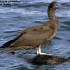 Brown Booby immature 1.jpg