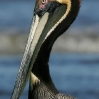 Brown Pelican 1.jpg