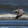 Brown Pelican 2.jpg