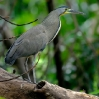 Bare-throated Tiger-Heron 3.jpg