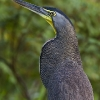 Bare-throated Tiger-Heron 4.jpg