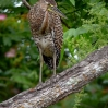 Bare-throated Tiger-Heron immature 1.jpg