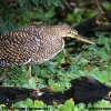 Bare-throated Tiger-Heron immature 2.jpg
