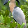 Boat-billed Heron 1.jpg