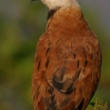 Black-collared Hawk 1.jpg
