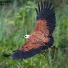 Black-collared Hawk 4.jpg