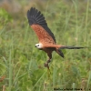 Black-collared Hawk 6.jpg