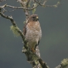 Broad-winged Hawk 1.jpg