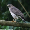 Broad-winged Hawk 2.jpg