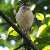 Barred Forest-Falcon immature 1.jpg