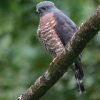 Double-toothed Kite 2.jpg
