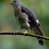 Double-toothed Kite 3.jpg