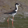Black-necked Stilt 1.jpg