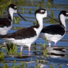 Black-necked Stilt 2.jpg