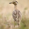 Double-striped Thick-Knee 3.jpg