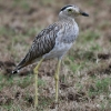 Double-striped Thick-Knee 4.jpg