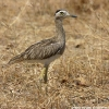 Double-striped Thick-Knee 5.jpg