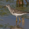 Lesser Yellowlegs 1.jpg