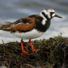 Ruddy Turnstone 1.jpg