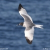 Swallow-tailed Gull 1.jpg