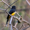Black-headed Trogon 3.jpg