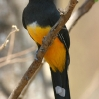 Black-headed Trogon male 1.jpg