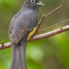 Black-headed Trogon male 4.jpg