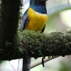 Black-throated Trogon male 2.jpg