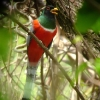Elegant Trogon male 1.jpg
