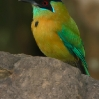 Blue-crowned Motmot 1.jpg