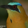 Blue-crowned Motmot 2.jpg