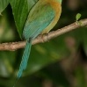 Blue-crowned Motmot 3.jpg