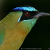 Blue-crowned Motmot 6.jpg