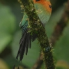 Broad-billed Motmot 1.jpg