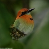 Broad-billed Motmot 3.jpg