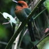 Broad-billed Motmot 4.jpg