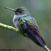 Blue-chested Hummingbird 2.jpg