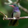 Blue-throated Goldentail 2.jpg