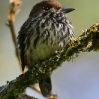 Lanceolated Monklet 1.jpg
