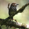 Lanceolated Monklet 3.jpg