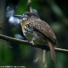 White-whiskered Puffbird 1.jpg